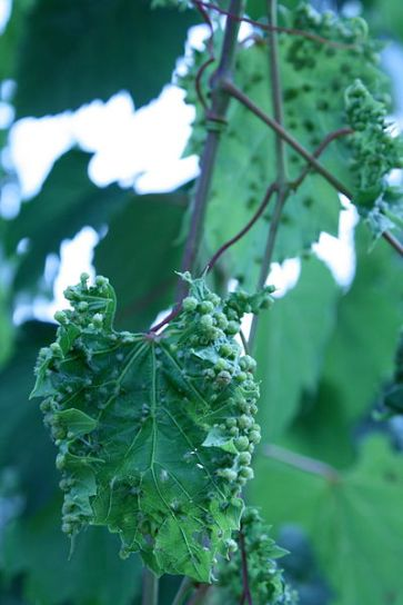 Grape_leaf_showing_galls_from_Phylloxera